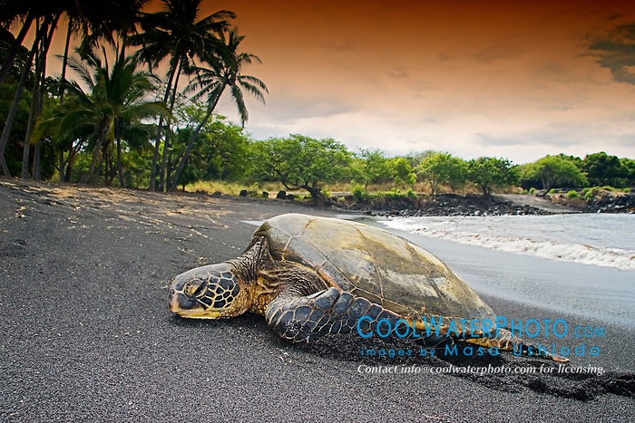 Green Sea Turtle, Chelonia mydas, basking in the sun, Punalu`u Black Sand Beach, Big Island, Hawaii, Pacific Ocean.