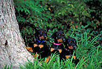 Dachshund Puppies outdoors<br />