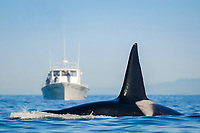 Killer whale, Orcinus orca, male surfacing in front of a whale watching boat, Monterey Bay National Marine Sanctuary, Monterey, California, USA, Pacific Ocean