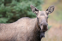 A female moose appears curious about the photographer in Alaska's Chugach State Park.