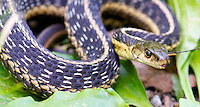 Garter Snake (Thamnophis sirtalis) after swallowing a frog.