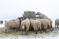 Sheep feeding on hay in the snow -  Rutland, February