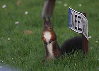 Red Squirrel -  Ein Rot Eichhörnchen 301215