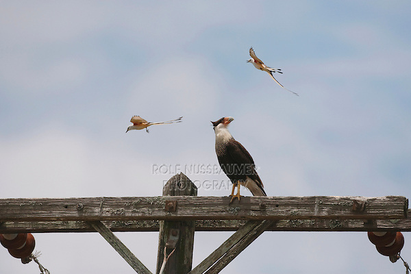 Crested Caracara (Caracara plancus), adult mobbed by a pair of Scissor-tailed Flycatcher (Tyrannus forficatus), Sinton, Corpus Christi, Coastal Bend, Texas, USA