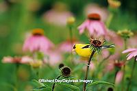 01640-07519 American Goldfinch (Carduelis tristis) male on Purple Coneflower (Echinacea purpurea) Marion Co.  IL