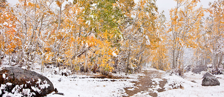 A trail lined with aspen in the Bishop Creek area on the first snowfall of the winter. Inyo County, CA.