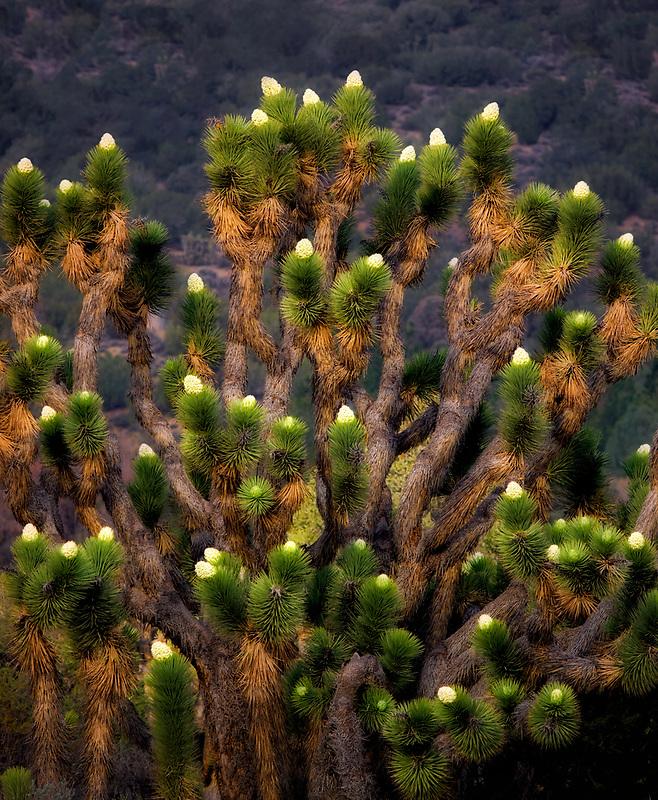 Bloomin Joshua trees. Near Wlker Pass, California