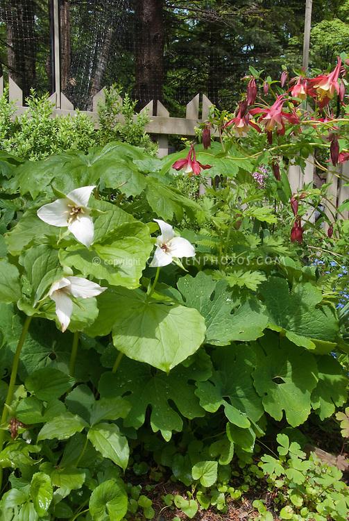 Trillium erectum forma albiflorum with Aquilegia, Myosotis, Buxus, picket fence, Podophyllum, Sanguinara foliage, in spring garden planting combination bloom