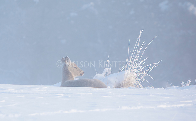 Whitetail doe laying in a snowy bed on a frigid winter morning in western Montana