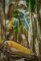 An ear of corn nearly ready for harvest on an Ohio farm.