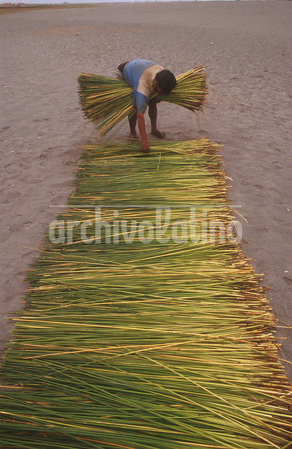 Cosecha de  totora o junco en la costa del Pacifico cerca de Huanchaco, en el norte del pais.La totora se utiliza para confeccionar muebles, embarcaciones y artesanias+economia , agricultura*Totora fields in the North Coast of Peru, near Huanchaco. Peasants use totora to make furniture, small boats, handcrafts and even part of their homes+economy, agriculture