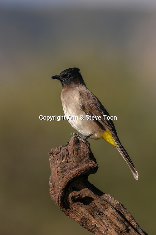 Dark-capped (black-eyed) bulbul (Pycnonotus tricolor), Zimanga private game reserve, KwaZulu-Natal, South Africa, April 2017