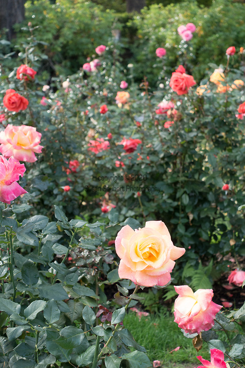 The International Rose Test Garden in Forest Park in Portland, Oregon, USA
