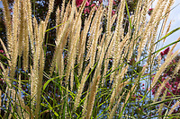 Long grass and flowering trees at the entrance to the Athletics Dept. on Aug. 6, 2015.<br /> (Photo by Marc Campos, Occidental College Photographer)