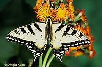 SB01-015z  Butterfly - Tiger Swallowtail - Pterourus glaucus