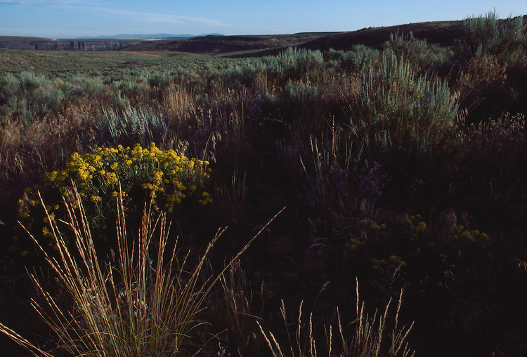 Native grasslands, Moses Coulee, Nature Conservancy, preserve, shrub steppe habitat, Douglas County, Eastern Washington, Washington State, Pacific Northwest, North America, United States, wilderness preservation,