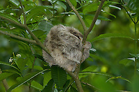A Brown-throated Sloth (Bradypus variegatus) sleeping during the day, using a fork in a tree branch for support, Bocas del Toro, Panama