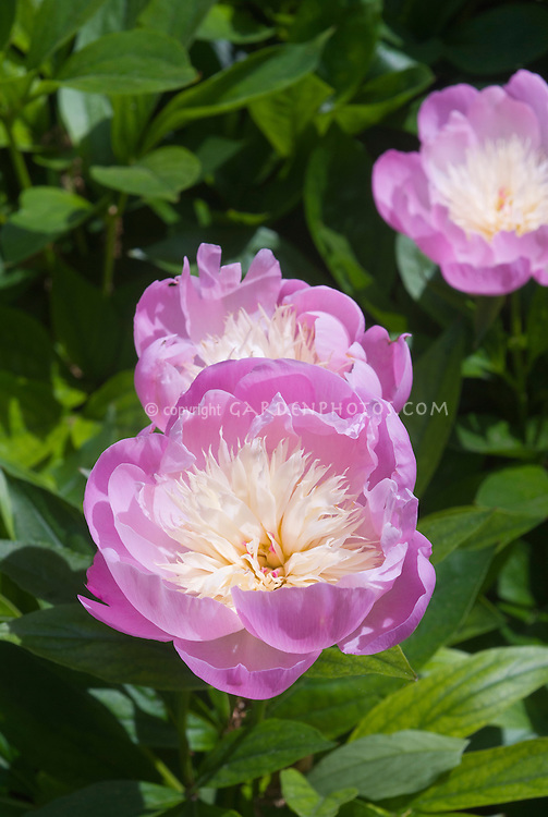 Paeonia suffruticosa Tree Peonies Bowl of Beauty