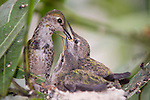 La Jolla, California; a female Anna's Hummingbird (Calypte anna) sitting on the edge of her nest feeding her two, three week old chicks