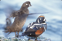 Harlequin Duck; Histrionicus histrionicus;  male and female; NJ, Barnegat Light;
