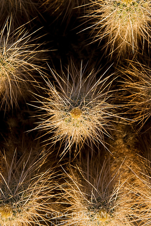 Detail of the thorn covered teddy-bear cholla (Cylindropuntia bigelovii) cactus, Baja California, Mexico