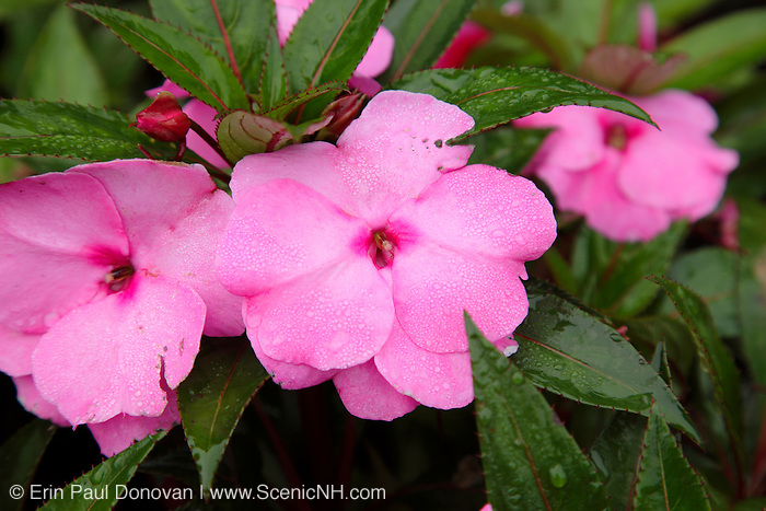 New Guinea Impatiens during the summer months at  Prescott Park in Portsmouth, New Hampshire USA
