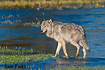 Gray wolf. Yellowstone National Park, Wyoming.