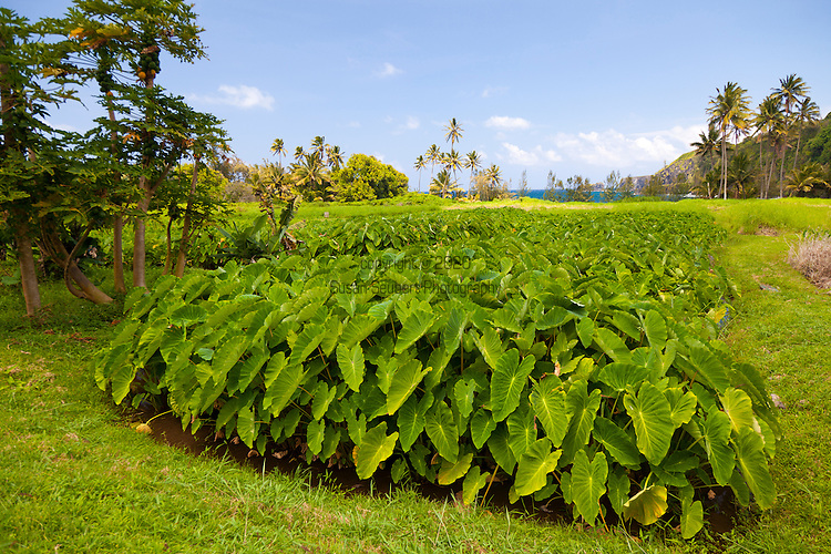The taro fields in Keanae, Maui which are visible from the road to Hana.  Taro is farmed here using traditional Hawaiian methods.  The loi (taro patches) are irrigated by the natural flow of water from the wet side of the island of Maui.