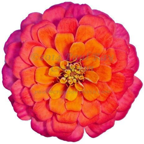 Pink and Orange Zinnia
