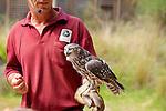 Barking Owl, Healesville Sanctuary