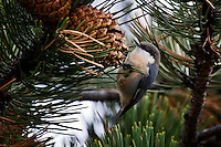 Pygmy Nuthatch feeding on Pine Cones