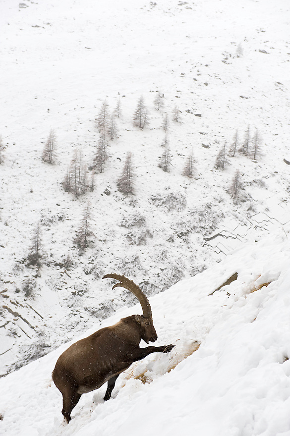 03.11.2008.Alpine Ibex (Capra ibex) searching for food in snowcovered landscape..Gran Paradiso National Park, Italy