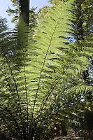 A brilliantly green giant fern in woods near Te Anau, South Island, where the Kepler Track begins.