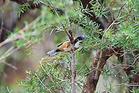 Eastern Spinebill, Yuragir NP, NSW, Australia