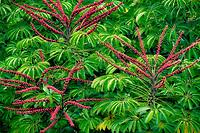 Buds on Schefflera or umbrella tree. Kauai, Hawaii