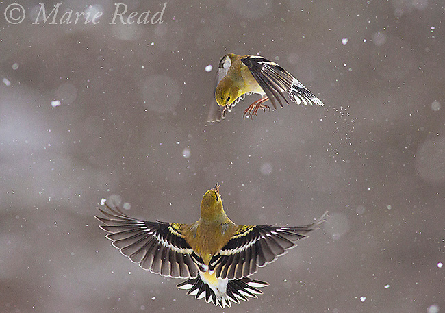 American Goldfinches (Spinus (Carduelis) tristis) two fighting in midair amidst falling snow, New York, USA