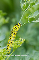 03009-01703 Black Swallowtail butterfly (Papilio polyxenes) caterpillar on Common Rue (Ruta graveolens) Marion Co., IL