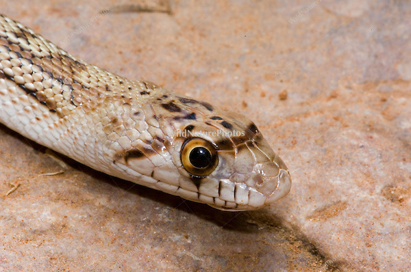 Glossy Snake, Arizona elegans; Sonoran Desert, Arizona