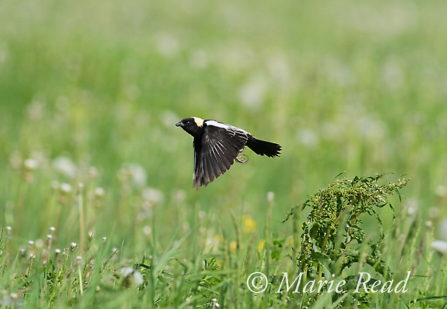 Bobolink (Dolichonyx oryzivorus ) takes flight in its meadow habitat, New York, USA