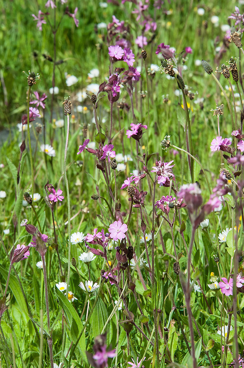 Wild flower meadow, mid May. Featuring red campion and ox-eye daisies.
