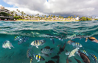 An over-and-under image of multicolored Hawaiian reef fish off of Black Rock, Ka'anapali Beach, Maui.