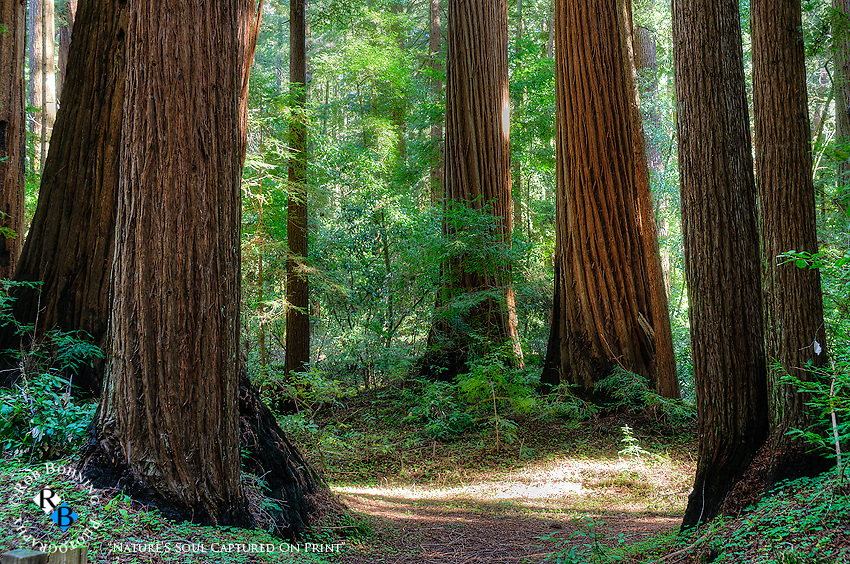 The majesty and splendor of the coastal redwoods. This from a redwood forest in the Santa Cruz Mountains