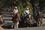 Greeley Hill, California October 24, 2006.Erickson Cattle Company drive cattle from Kassabuam Meadow through Hells Hollow to Boneyard Corral...Photo by Al Golub/Golub Photography