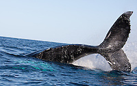 Humpback_Whales_Fin