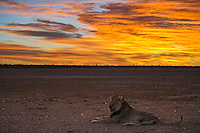 Wounded old male lion full of porcupine quills in a kalahari pan under a golden dawn sky.