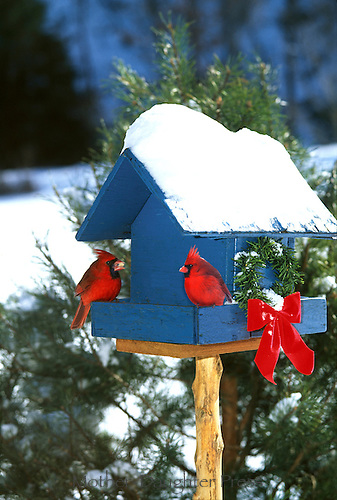 Two red cardinals, cardinal cardinalis,  eating from blue painted bird feeder with a green wreath and red bow decorated for Christmas