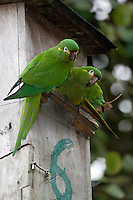 Golden-plumed Parakeet at nest box;  Leptosittaca branickii; Tapichalaca Reserve; Ecuador, Zamora Chinchipe