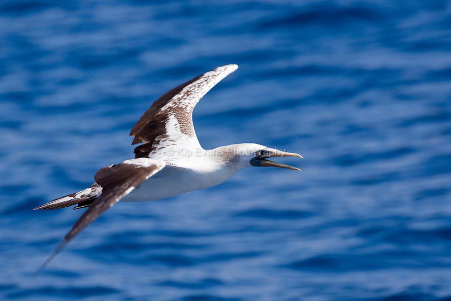 A peruvian booby (Sula variegata) soars near the Cocos Island off the coast of Costa Rica.