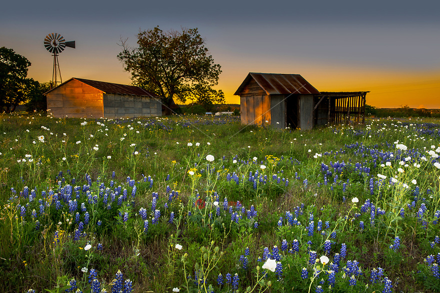 Sunset falls on a rustic old country house and windmill in Pontotoc, Texas surrounded by a field of Bluebonnet wild flowers in the Texas Hill Country. Springtime in Texas means wildflowers!