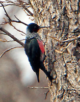 This Lewis's woodpecker, a rare winter migrant to Texas, was found feeding on pecan trees on the banks of the South Llano River in Junction, TX.